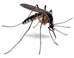 That nasty pest, the mosquito